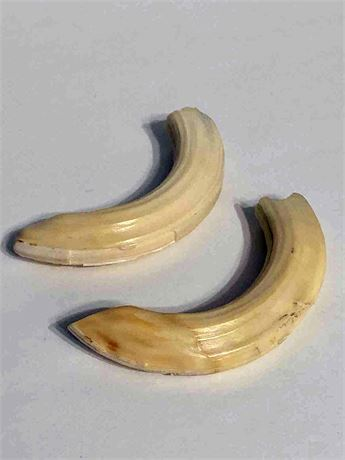 Wart Hog Tusks