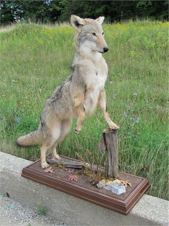 Taxidermy Mount - Coyote