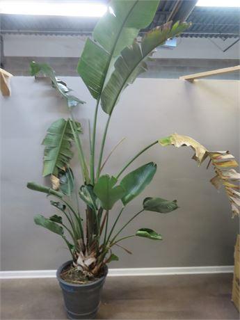 10 ft. Live Tropical Palm Tree