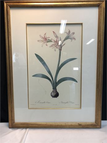 Pierre Redoute Amaryllis Vittata Flower Art