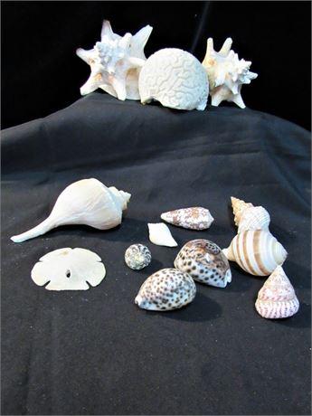 13 Piece Seashell Lot