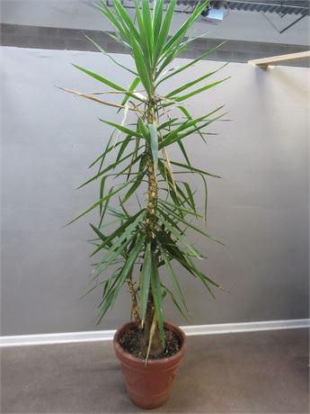9 ft. Live Madagascar Palm Tree