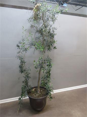 9 ft. Live Olive Tree