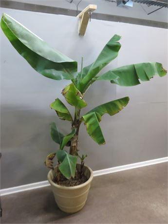 8 ft. Live Banana Tree