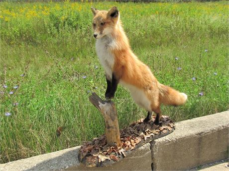 Taxidermy Mount - Red Fox