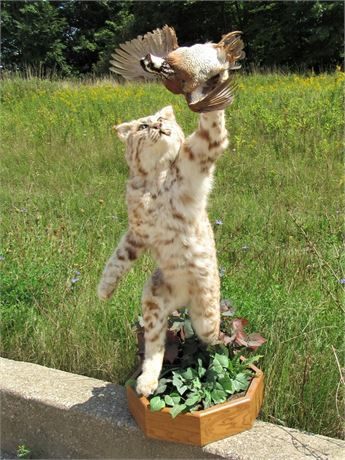Taxidermy Mount - Bobcat Snatching a Bird